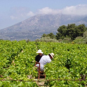The vineyard of Samos