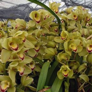 orchids-samos-03